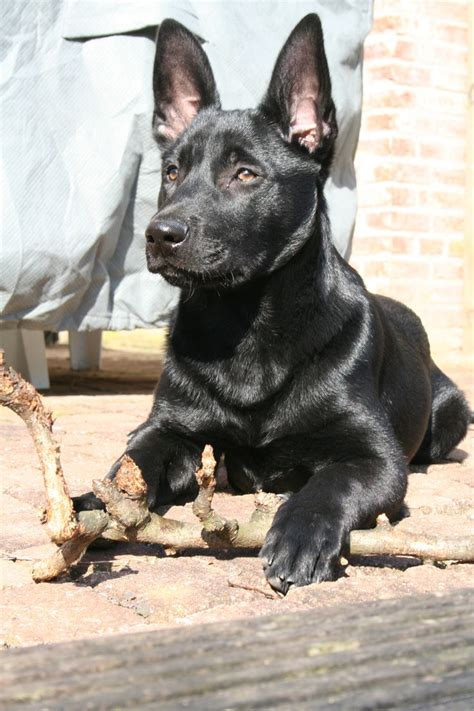 black belgian malinois puppies black malinois puppy belgian malinois malinois puppies puppys and black