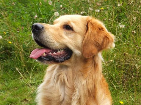 golden retriever stud rosanbeth gundogs golden retriever at stud bedlington northumberland pets4homes