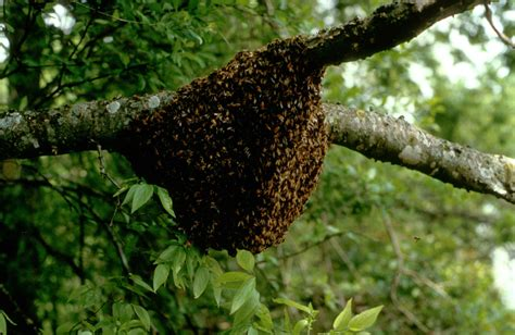 Teh Madu file nuclei of honey bees nest on a branch jpg wikimedia