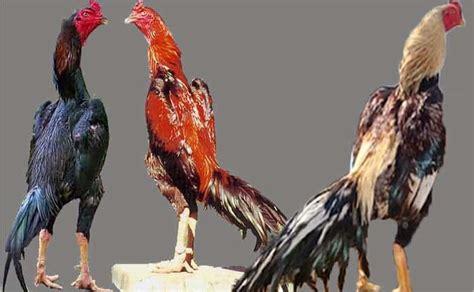 Vitamin Terbaik Untuk Ayam Petelur vitamin ayam bangkok petarung sabung ayam