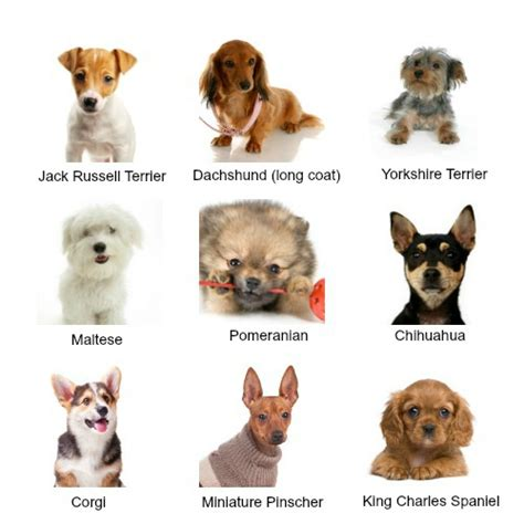 Extra Small Dog Breeds   What sort of breed of dog is very