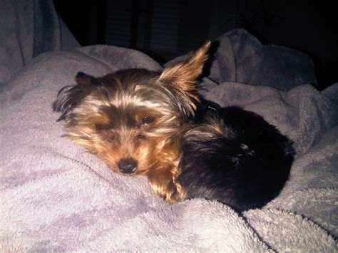 yorkie for sale in orlando yorkies for sale in orlando fl yorkie puppies windermere fl services