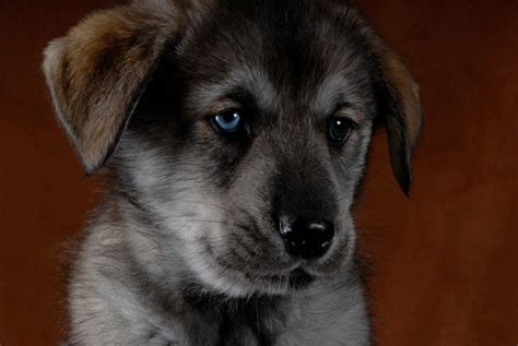 goberian puppies puppies day 8 breeds picture
