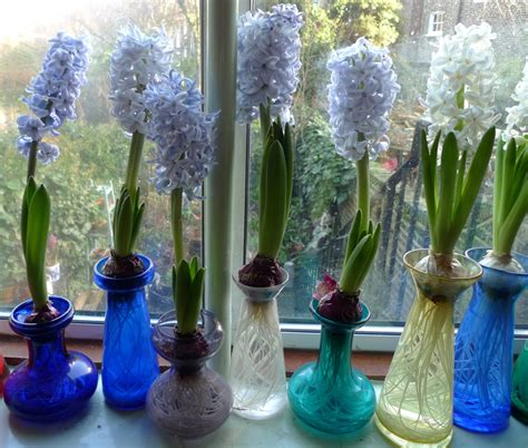 Hyacinth Bulb Vases by Next Wave Of Hyacinths Garden Withindoors