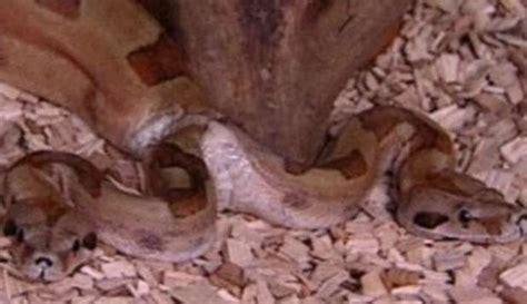 serpenti con due teste 20120826 serpente due teste direttanews it