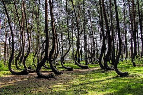 crooked forest poland mysterious photos of unexplainably crooked forest in poland