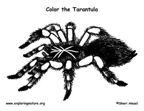 spider tarantula coloring page exploring nature