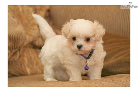 malshi puppies for sale near me mal shi malshi puppy for sale near sioux city iowa 667d2751 bc11