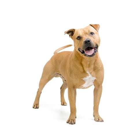 Small House Dogs by Staffordshire Bull Terrier Dog Breed Profile