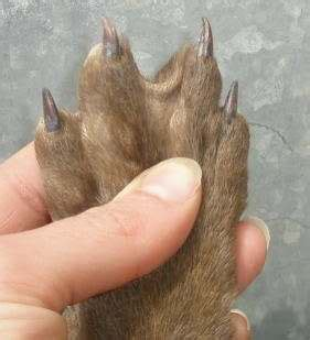puppy toes why do labrador puppies webbed quora