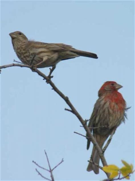 house finch male and female house finch male and female