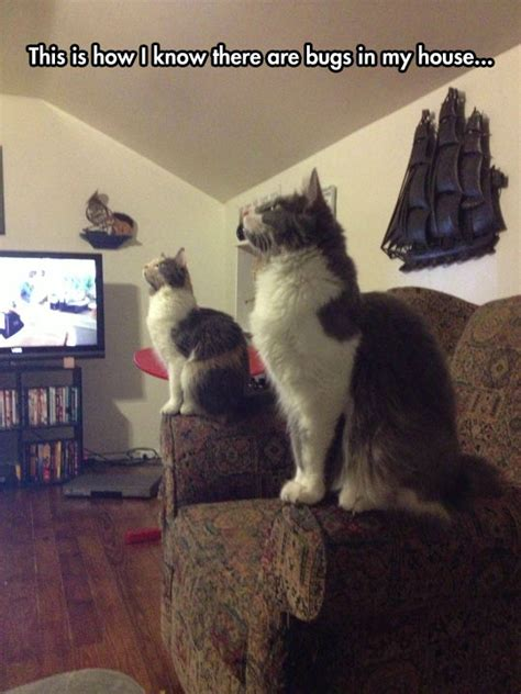 cat staring at couch feline bug detectors the meta picture