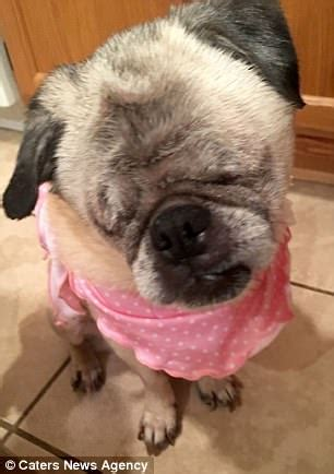 looking after pugs pictures show adorable blind pug adopted by express digest