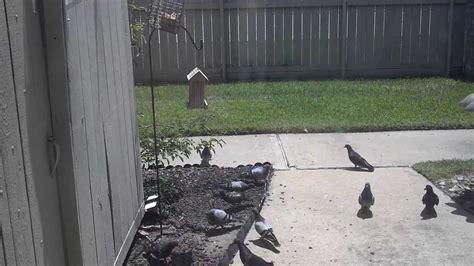 anti pigeon bird feeder youtube
