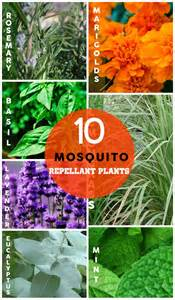 Natural Bug Spray For Plants 10 Natural Mosquito Repellant Plants Craftriver