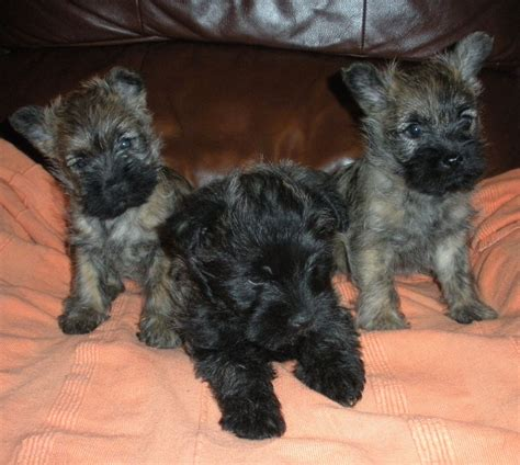 terrier puppies for sale cairn terrier puppies for sale oswestry shropshire pets4homes