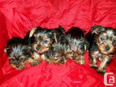 yorkie puppies vancouver we do yorkie puppies for sale in vancouver columbia classifieds