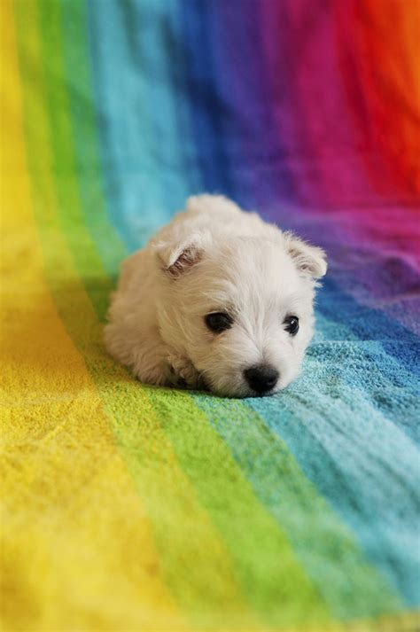 q puppies 25 best ideas about westie puppies on small dogs terrier puppies and westies