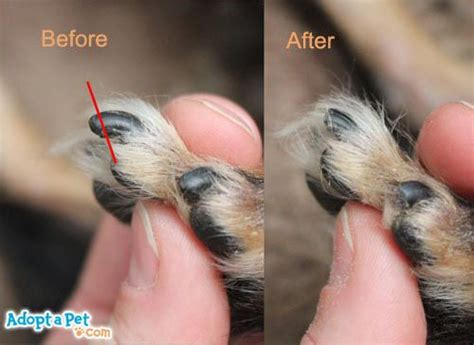cutting yorkie nails how to cut yorkies nails search yorkies nails search and