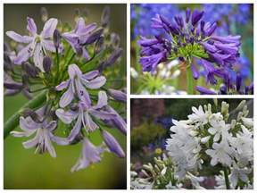 how to grow and care for agapanthus saga