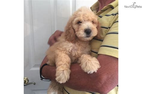 puppies for sale in southern maryland goldendoodle puppy for sale near southern maryland maryland 4ba14e3c 0641