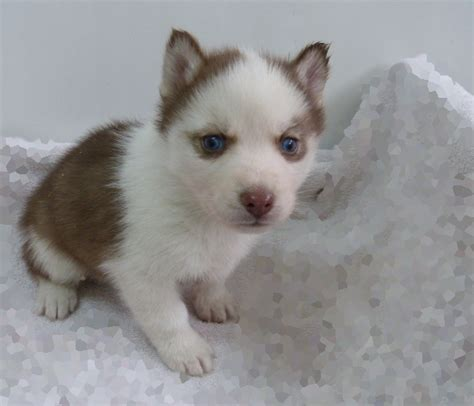miniature husky puppies for sale ornelas miniature husky puppies for sale in is a registered breeder of quality