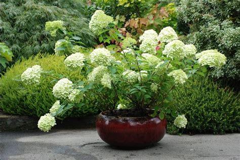 potatura ortensie in vaso ortensia in vaso ortensia ortensia coltivazione in vaso