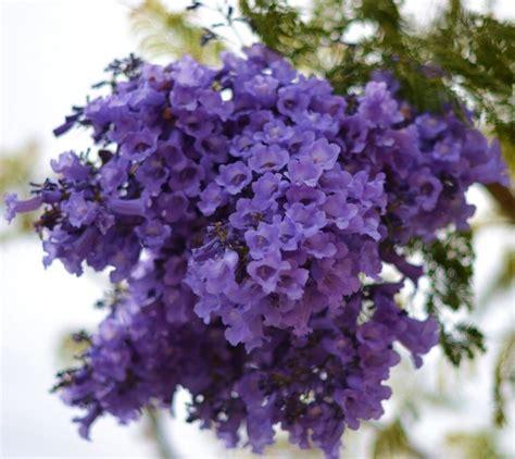 jacaranda tree flowers purple paty pinterest