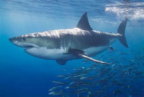 shark wall murals decowunder wallpapers wall mural white shark 470 097 ap