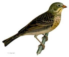 bird l braconnage de l ortolan contr 244 les renforc 233 s dans les