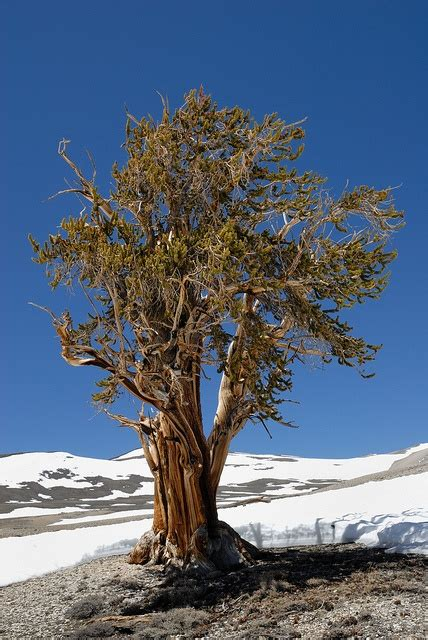 bristlecone pine tree california mystic 17 best images about bristlecone pines on