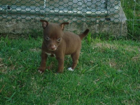 puppies for sale hawaii teeny tiny chihuahua puppies for sale adoption from honolulu hawaii adpost