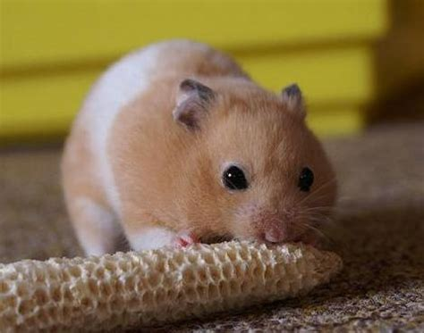 X Bamester Picture 2 Of 10 Hamster Mesocricetus Auratus Pictures