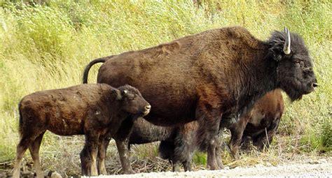 Buffalo Facts - Animal Facts Encyclopedia