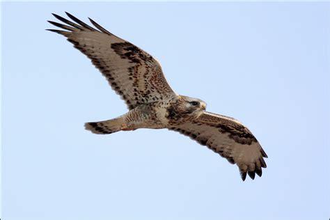 rough legged hawk rough legged hawk birdnote