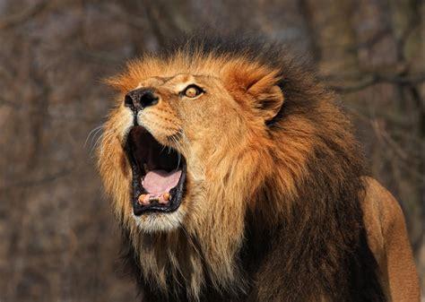 lions roar lion roaring what makes a lion s roar so loud and