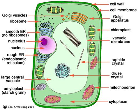 plant cell diagram labeled 4th assignment cell structures ms porter s 7th