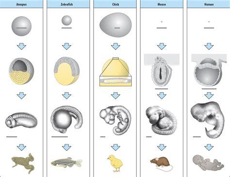 pattern formation chick biol3530 molecular and developmental biology vertebrate