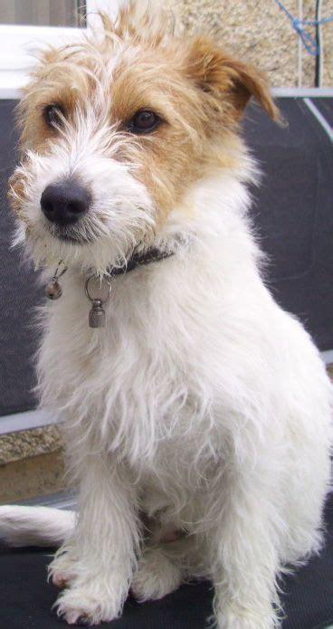 cutting a terrier cross the 25 best schnauzer mix ideas on pinterest miniature