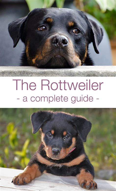 rottweiler bred for the rottweiler the happy puppy site