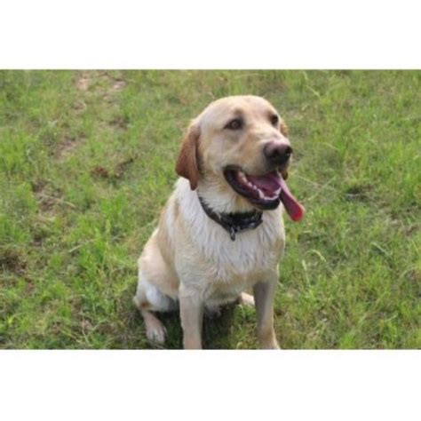 free puppies okc labrador retriever lab for stud in oklahoma freedoglistings