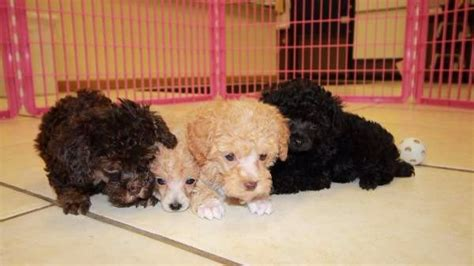 poodle puppies for sale in ga gorgeous teacup black poodle puppies for sale near atlanta ga at puppies for