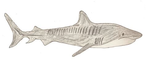 tiger shark drawn by zsantz on deviantart