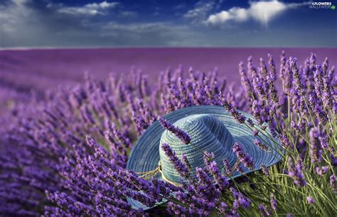 hat field lavender flowers wallpapers