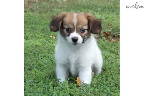 papillon puppies for sale akc meet a papillon puppy for sale for 800 akc windy s