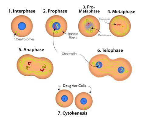 mitosis diagram mitosis