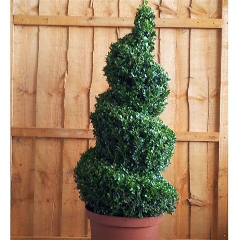 ornamental topiary trees box topiary spiral buxus sempervirens topiary spiral