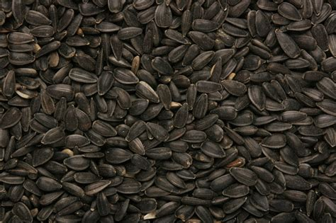 black sunflower seed canada sunflower seed black gladwells