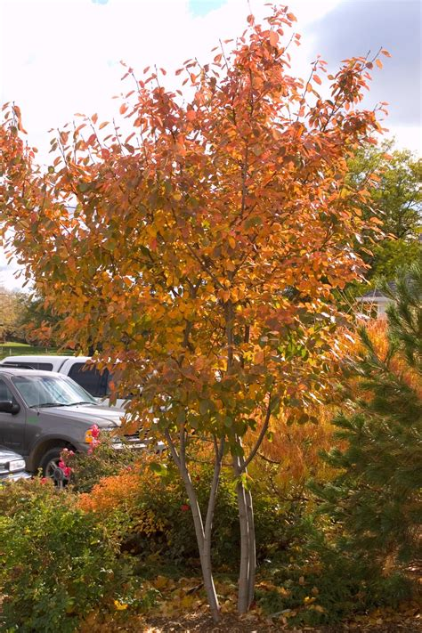 maple colors episode 1 the serviceberry tree hgtv