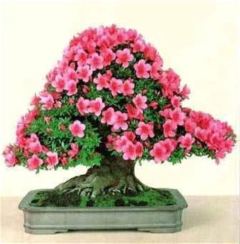 bonsai con fiori azalea un fiore un anima su bonsaicaffe